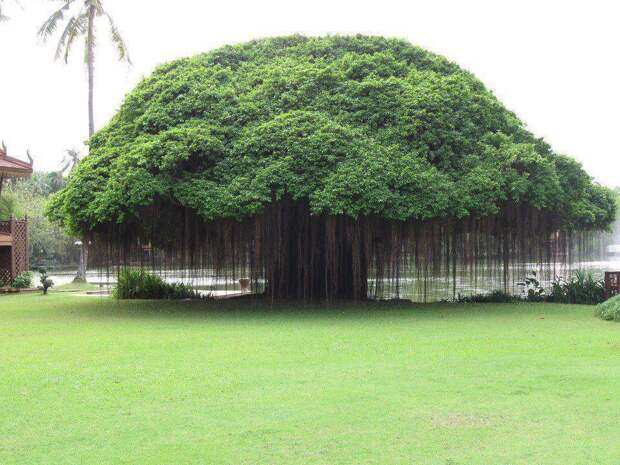Дерево Баньян интересное, фото, фотоподборка