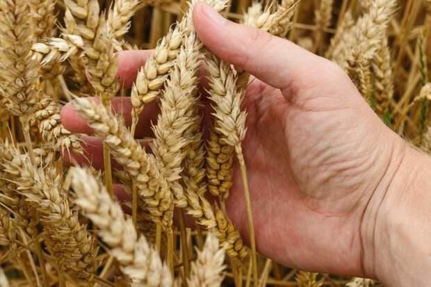 «Ошеломительный рост»: В США признали господство России на мировом рынке пшеницы