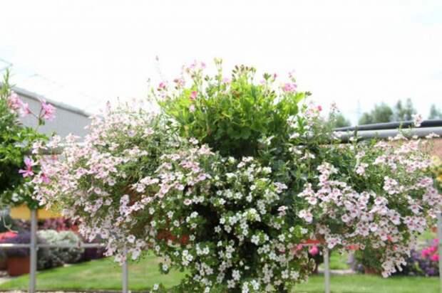 Оформление цветочной композиции в бело-розовых тонах. Использованы: сутера (бакопа), пеларгония, диасция.