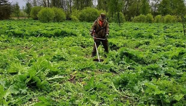 Более 1,3 тыс гектаров земли обработали от борщевика в Мытищах