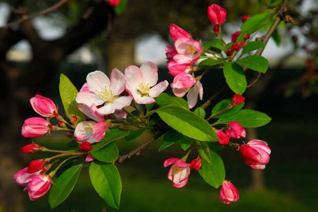 Цветущая яблоня  весна, деревья, цветы