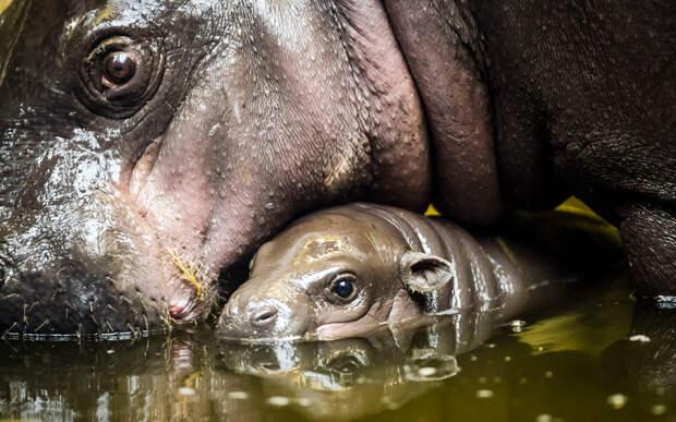 Три недели назад в Бристольском зоопарке появился на свет детёныш Карликового бегемота. Его пол ещё не определён.