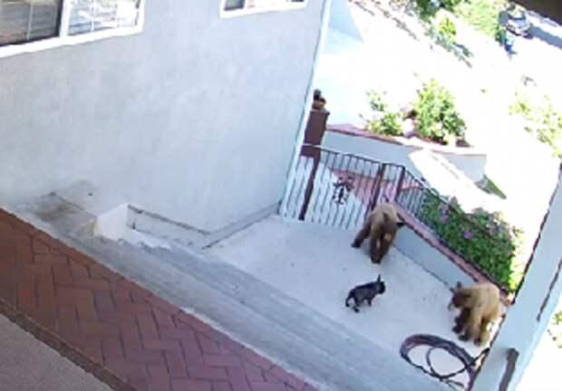 Маленькая собака напугала трех бурых медведей