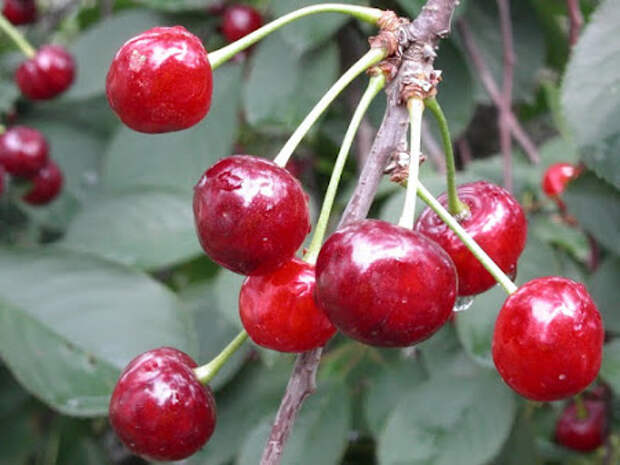 Почему вишня плохо плодоносит
