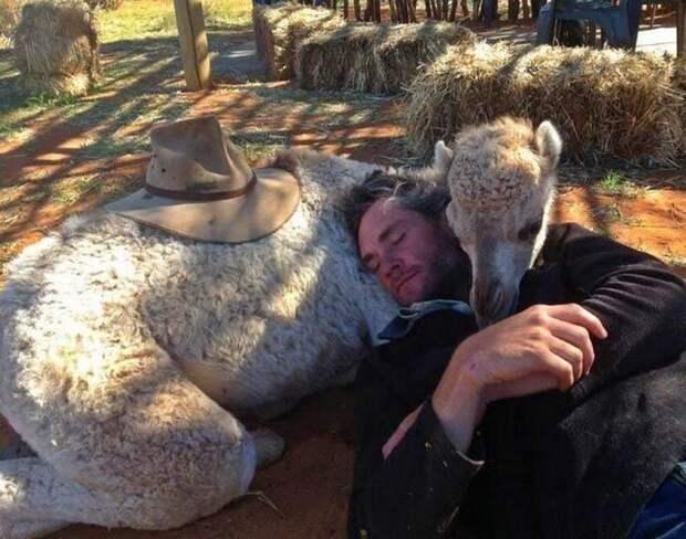 Маленькие кенгурята остаются умирать всумке погибшей матери, пока неприходит он