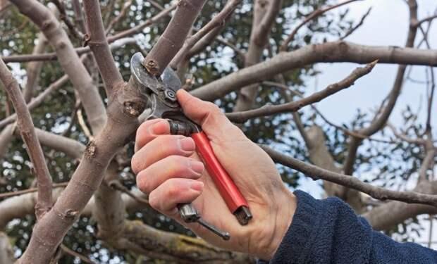Обрезка яблонь осенью – советы для начинающих в картинках и видео