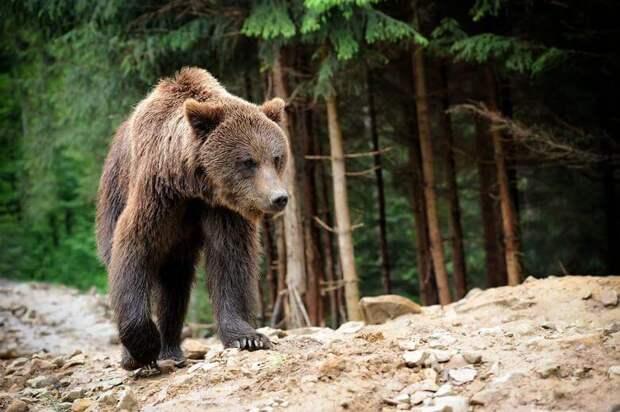 В Красноярском крае погиб подросток после нападения на него медведя