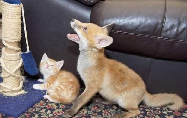 Лисенок и котенок - лучшие друзья, забавное видео