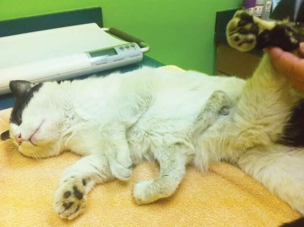 кошка с шестью лапами, кошка Поли у которой 6 лап, Pauly cat