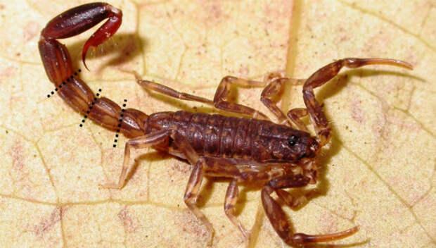 Скорпион Ananteris balzani теряет анус (фото Mattoni et al/CC by 2.5).