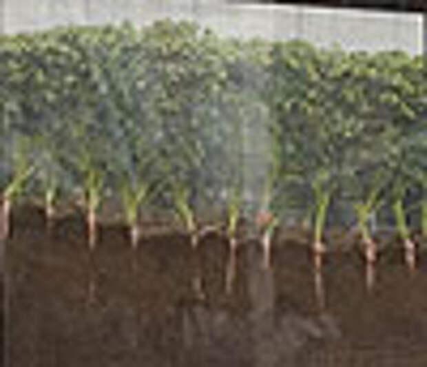 MacDonald's выращивает морковку в лайтобоксах