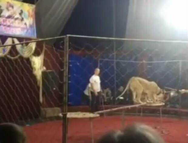 Директор цирка на Кубани получил иск на 5 млн рублей из-за нападения львицы
