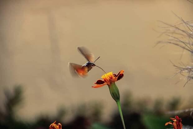 Как и пчёлы, языканы массово оплодотворяют растения, перенося пыльцу с цветка на цветок.