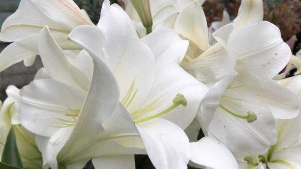 Флорист рассказал, аромат каких цветов может вызвать головную боль