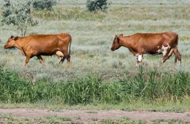 Украинские коровы самостоятельно сбежали в Беларусь