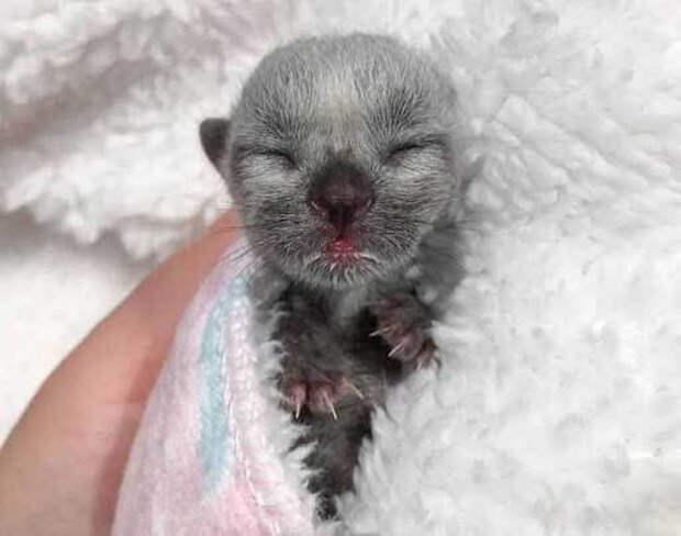 Серый котёнок породы корат стал частью нашей семьи, после того, как мы его выходили