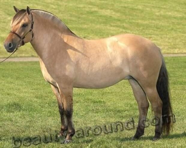 Норвежская фьордская лошадь (фьорд) лошадь