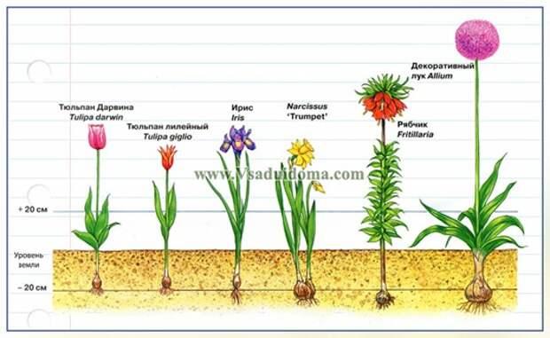 Луковичные клубневые и корневищные цветы и растения — фото и посадка