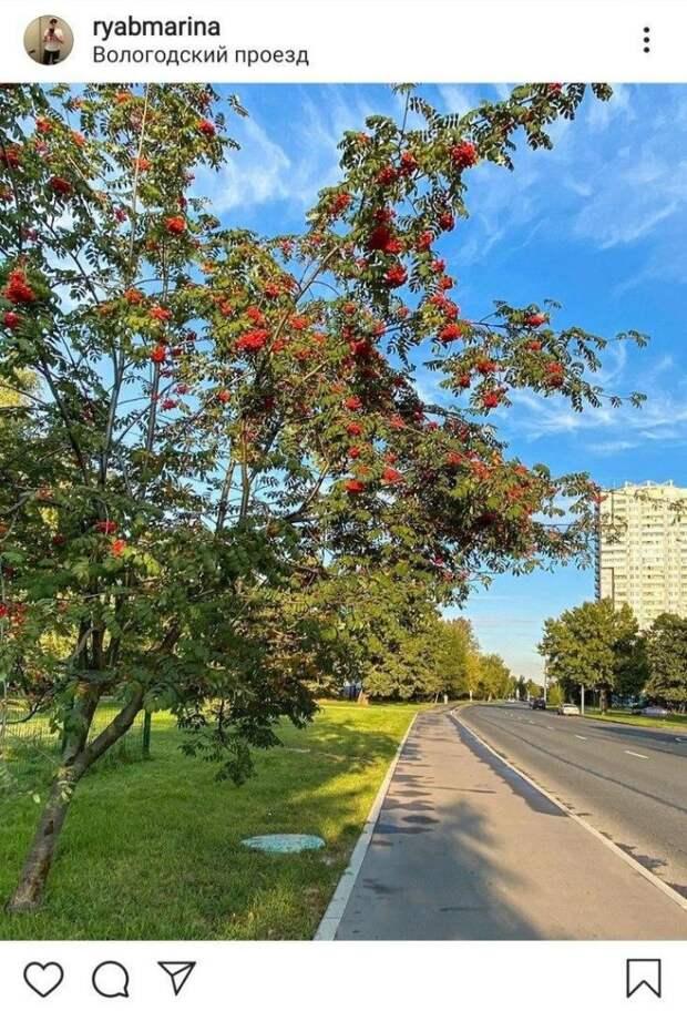 Фото дня: рябиновые гроздья на Вологодском проезде