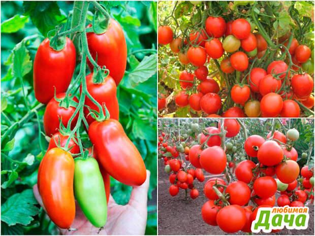 Эффективное средство для профилактики фитофторы на томатах