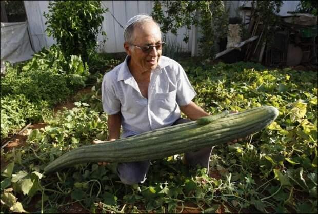 Огурец. Ничего так размер. огород, самые большие овощи, урожай