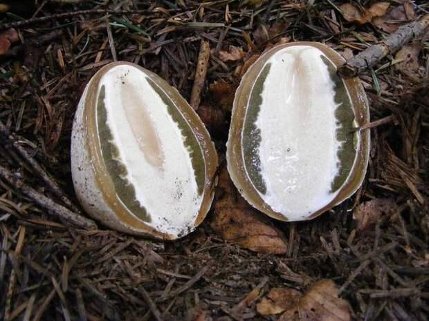 Самые необычные грибы, некоторые из которых можно выращивать на дачах
