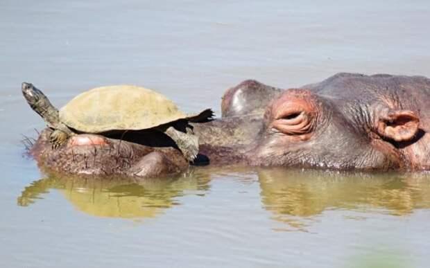 Бегемот и черепаха