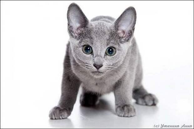 Русская голубая кошка, фото породы кошек фотография кошки