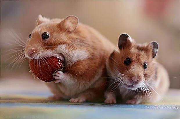 Хомяк и клубника животное, фрукт, ягода