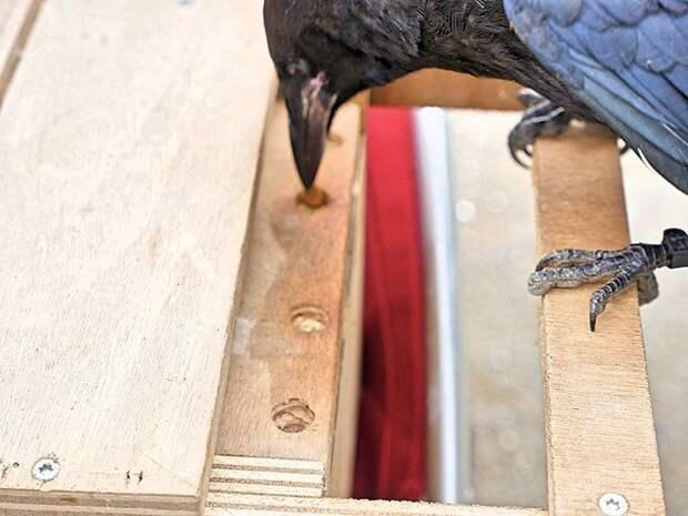 Габорит сначала учил двух грачей, используя шкаф с двумя ящиками ворон, животные, парк, помощь, птица, уборка, франция