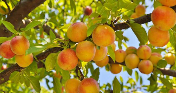 Бесплатные фото Персик Культур (Страница 1) - MyStockPhoto.com