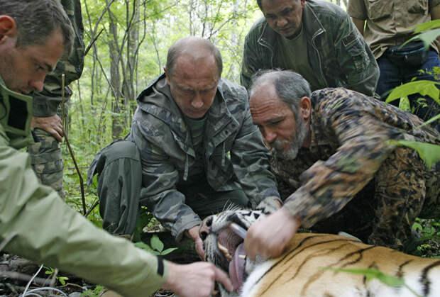 В 2008 году Путин помог надеть GPS-ошейник на тигрицу Серьгу
