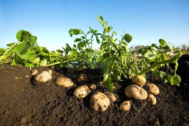 Можно ли собрать семь килограммов картофеля с куста?