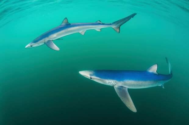 Синие акулы