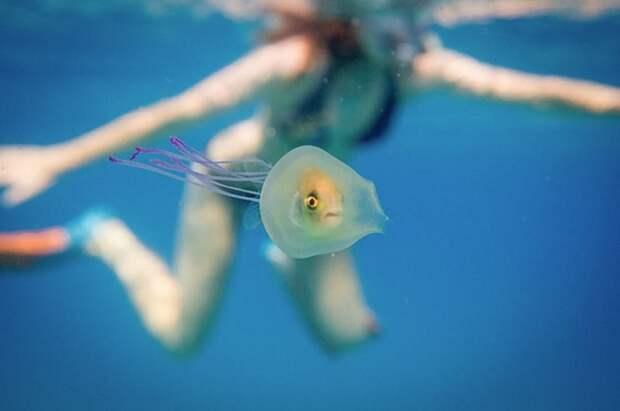 Фотограф делает уникальные снимки рыбы внутри медузы
