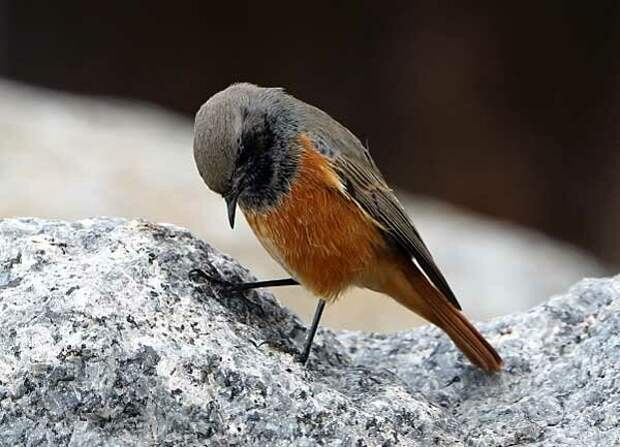Горихвостка – птичка, которую дважды выбирали птицей года. В России и Швейцарии