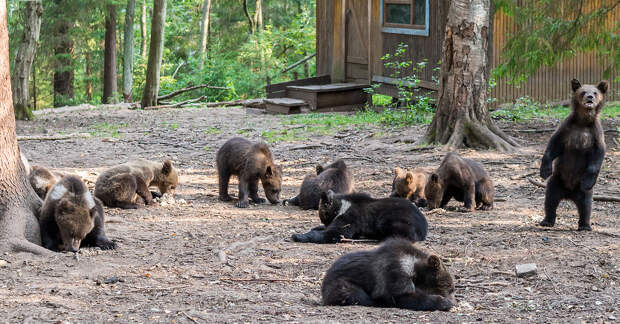 Как в России выращивают медведей