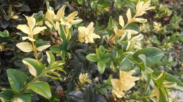 Самшит вечнозеленый Aureo-variegata