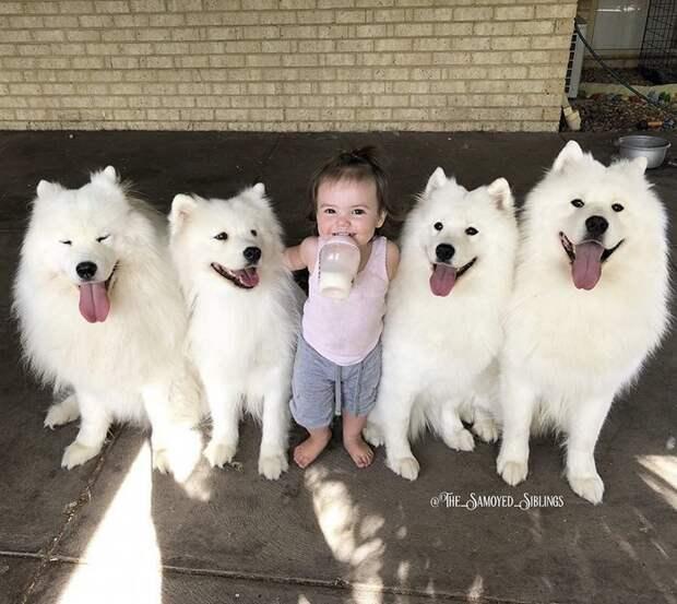 Кроме того, она еще и мама двух малышек Порода, грумер, животные, ребенок, самоедская собака, семья, фотография