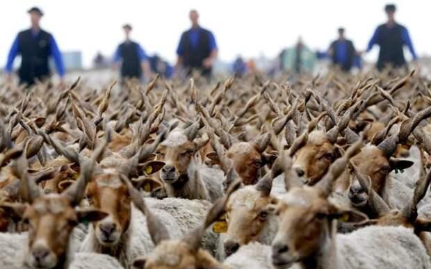 Овцы породы Рацка