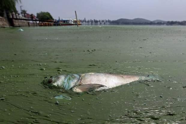 15. Мёртвая рыба в воде, плотно заросшей грязной ряской, в Восточном озере (Ухань) загрязнение, китай, экология