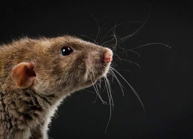 Осторожно! Вокруг крысы…