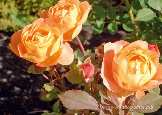 Зимой мы скучаем по своему саду и переживаем: как там всё наше «богатство» под снегом? Это я, конечно же, о наших любимых растениях, и в первую очередь о розах!
