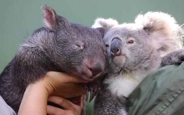 Дельфин и русалка – не пара, вомбат и коала – вполне!