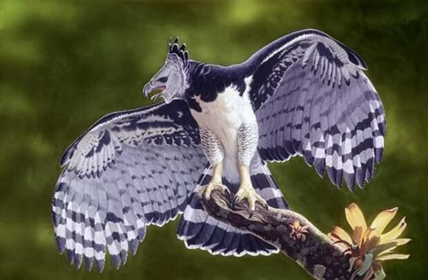 Южноамериканская гарпия — птица, в существование которой трудно поверить