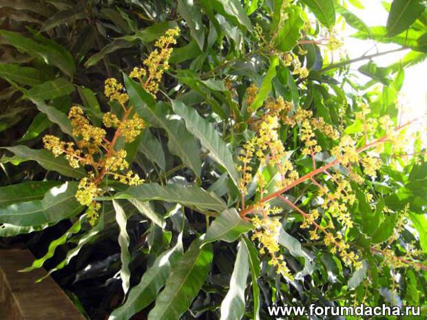 цветы манго, манго цветет