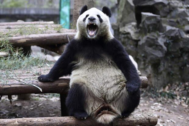 Гигантская панда в зоопарке в городе Ханчжоу, провинция Чжэцзян, Китай