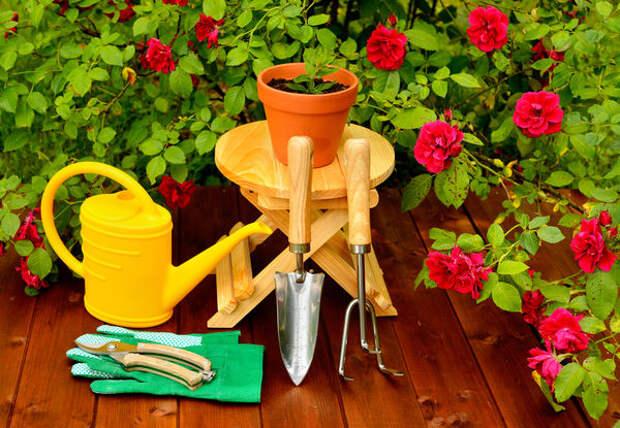 Весной розу можно пересадить в керамический горшок побольше и вынести в сад
