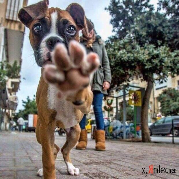 Боксёры такие боксёры боксер, еда, животные, собаки