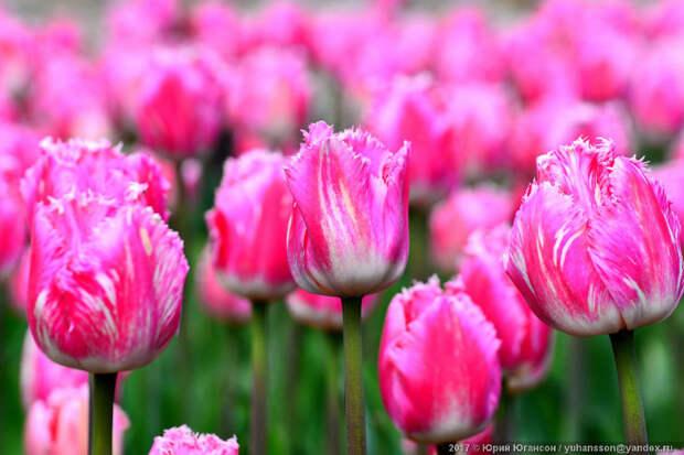Крымские тюльпаны, которые сводят фотографов с ума!